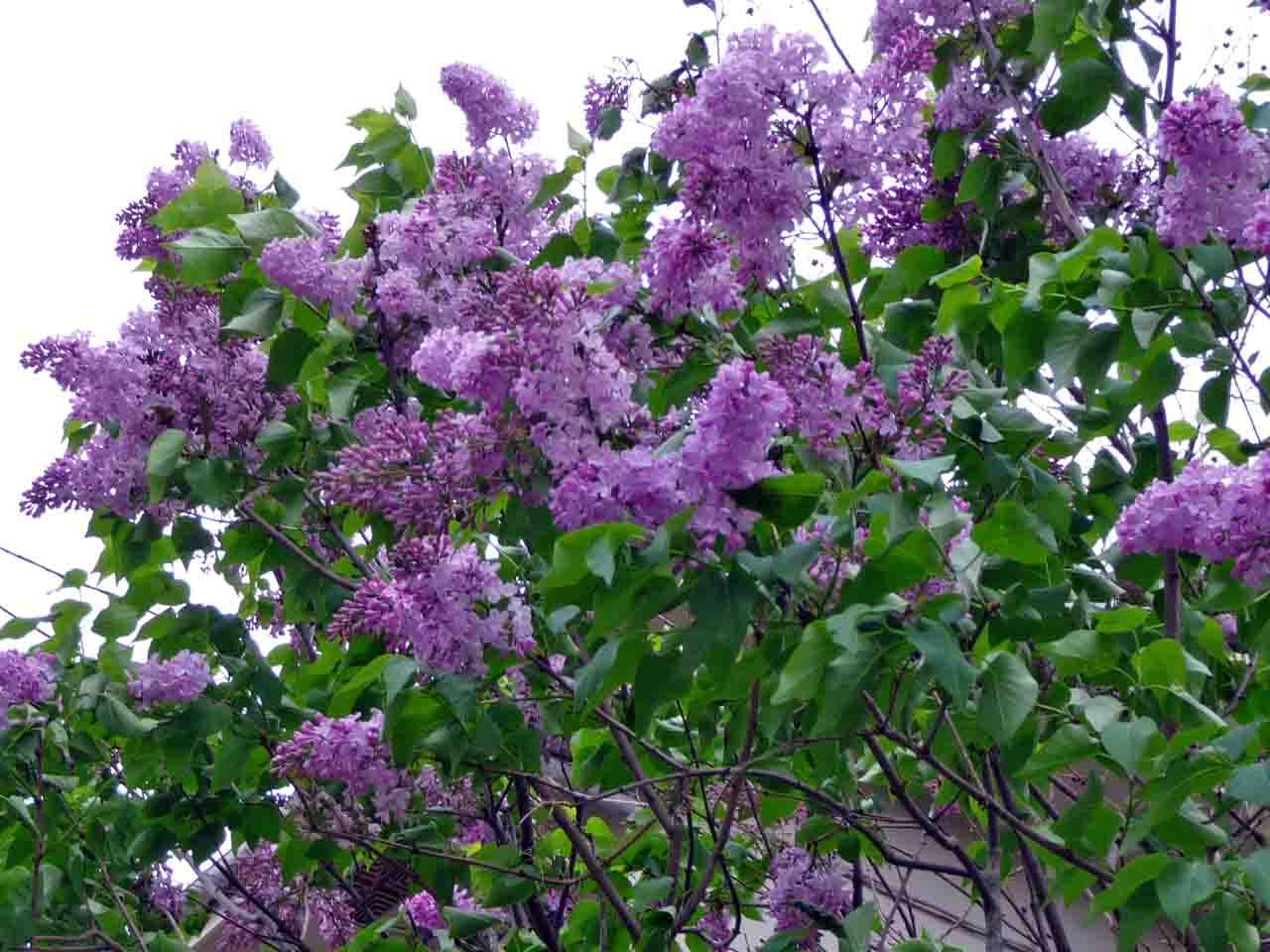 リラの花やマロニエの花が…!: 団塊の広場(カメラ、旅行 ...